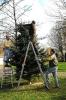 STV stellt zwei Weihnachtsbäume 15.11.14