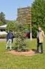 Zeder zur 800-Jahrfeier auf dem Köpfel gepflanzt